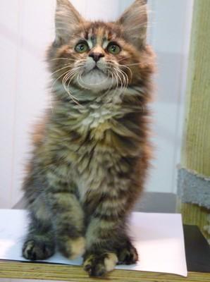 Super dieren - Maine Coon kittens ros te koop bij Petcenter RG-79