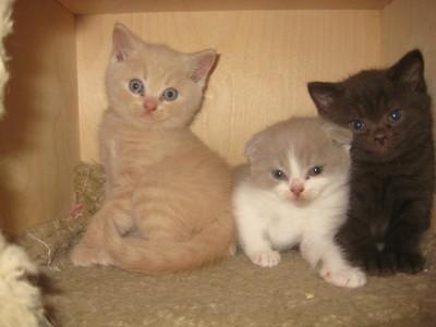 britse langhaar kittens te koop