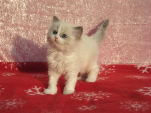 Ragdoll kittens zonder stamboom